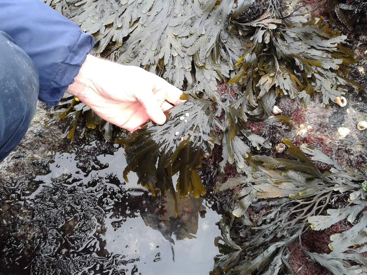Algues graine d'océan
