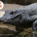 crocodile_nain_zoo