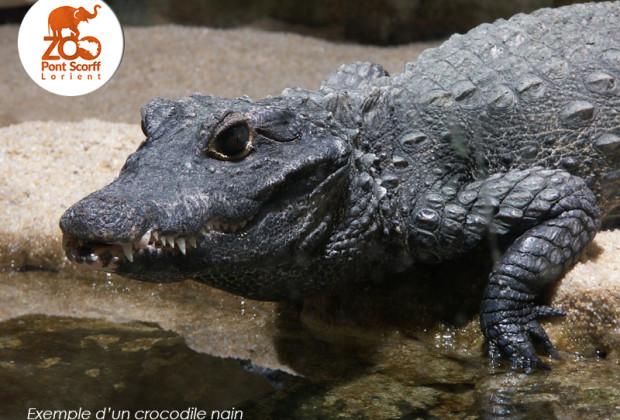 crocodile_nain_zoo