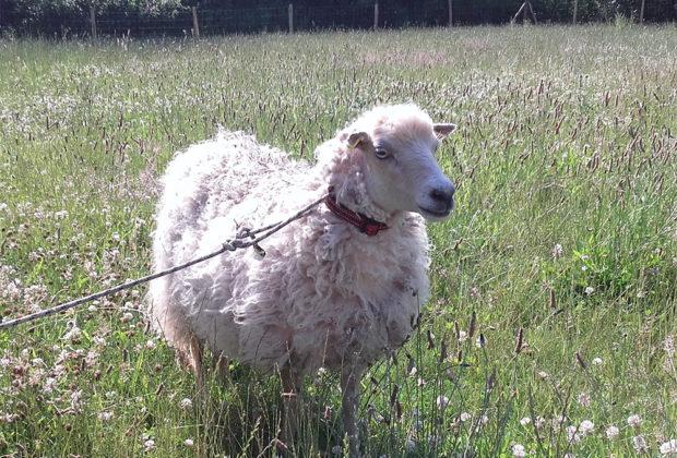mouton_croizamus_queven